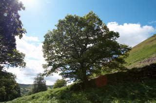 Oak At Dderi Farm