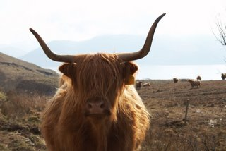 Highland Cow - Isle Of Mull - Easter 07